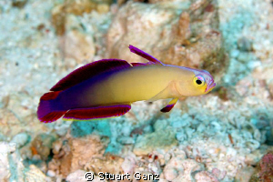 Purple Fire Goby by Stuart Ganz 